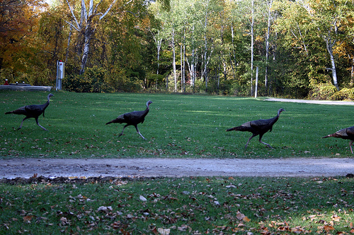 Turkeys run away... from the dinner table.